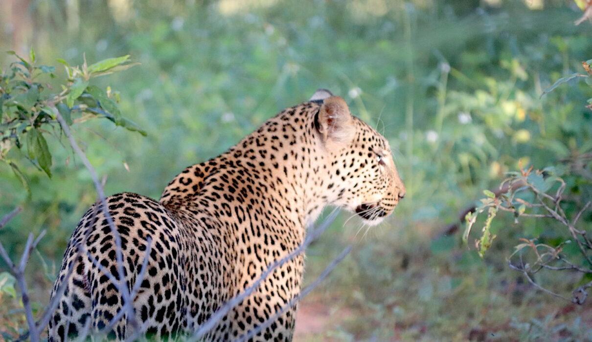 Leopard in Chobe National Park_Botswana_Credit Katrina Holden