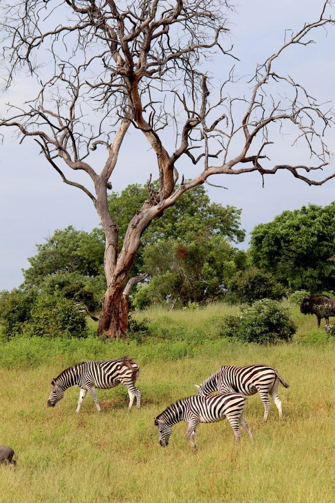 Zebra under tree_Chobe National Park_Botswana_Credit Katrina Holden